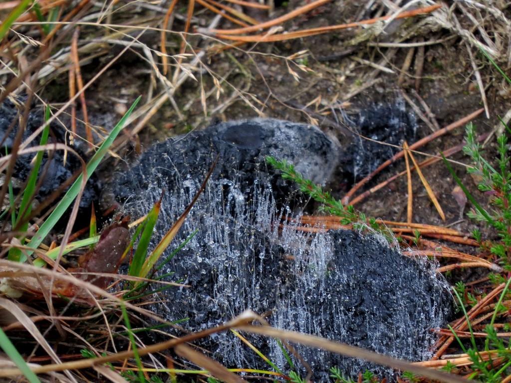 3 IMG_5504 Mögelsvamp på spillning