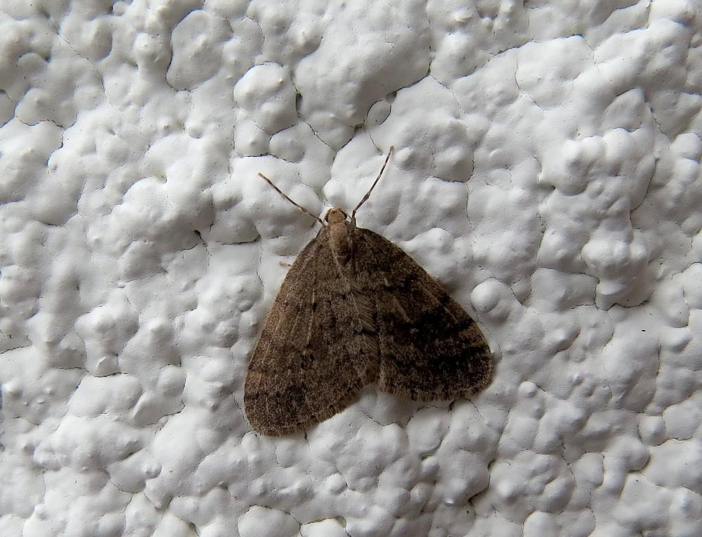 1 IMG_5566 Grågul frostmätare Agriopis marginaria