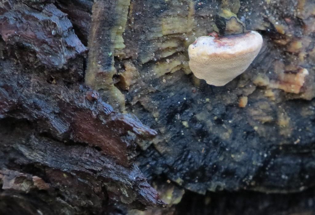 20 IMG_5659 Lysticka Hapalopilus rutilans