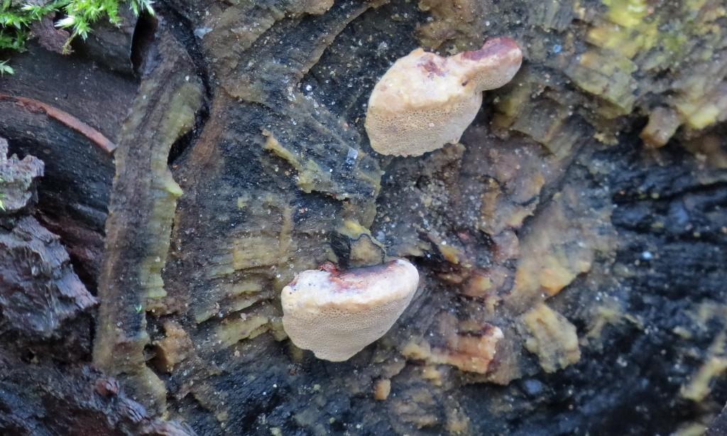21 IMG_5661 Lysticka Hapalopilus rutilans