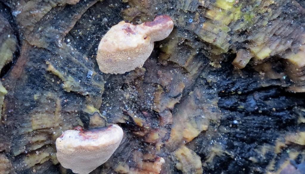 22 IMG_5664 Lysticka Hapalopilus rutilans