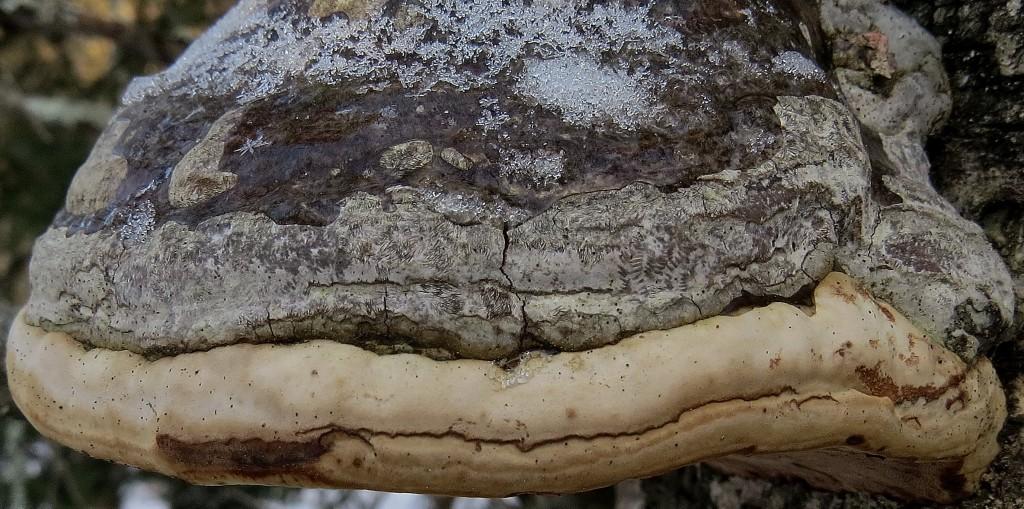 22 IMG_5932 Fnösketicka kanske med arten Dvärgfjäderving