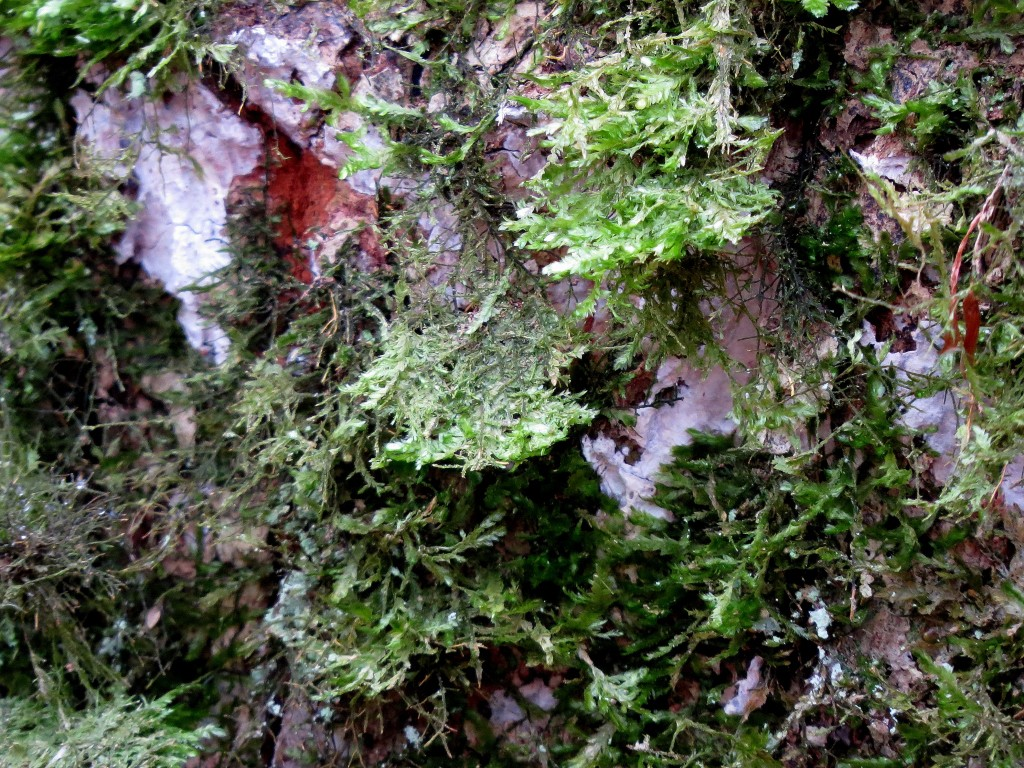 7 IMG_6646 Platt fjädermossa Neckera complanata