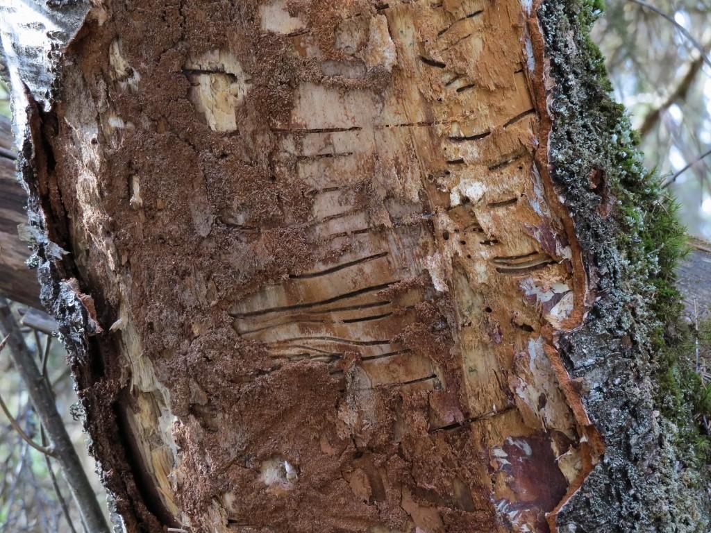 20 IMG_6853 Gnagspår på död björk av Bredhalsad varvsfl