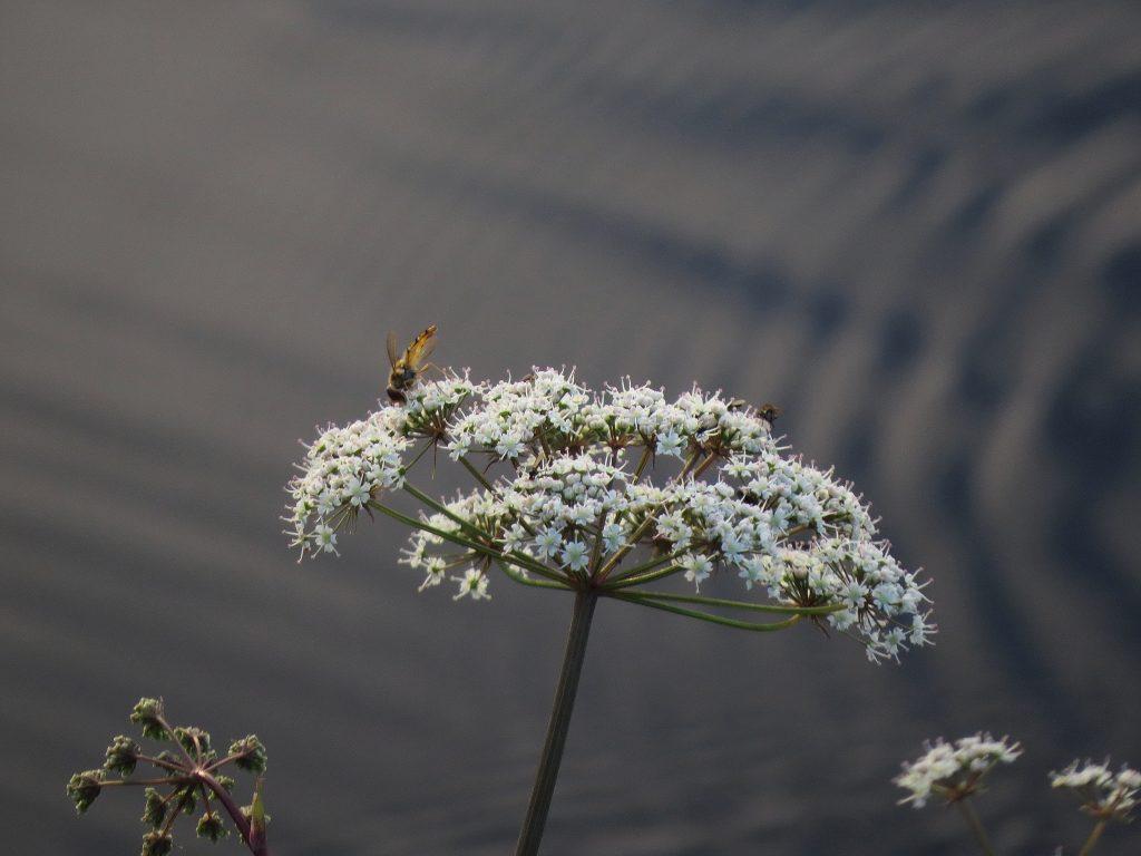 10-img_7812-sprangort-i-blom-dammvallen
