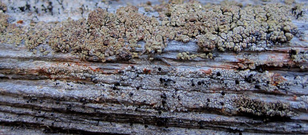 7-img_3089-vednal-chaenotheca-brunneola-och-flarnlav-hypocenomyce-scalaris
